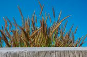 image of pampas grass  - Some grass flowers in spring Season on the sky.