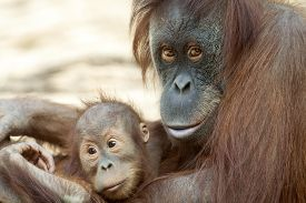 pic of orangutan  - Orangutan mother with her child - JPG