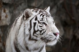 picture of tiger eye  - Closeup portrait of white bengal tiger on dark background - JPG