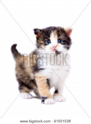 Beautiful little tricolor kitten