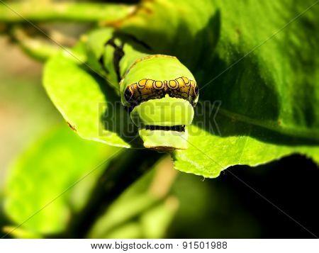 Citrus Caterpillar