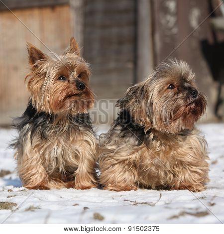 Beautiful Yorkshire Terriers In Winter