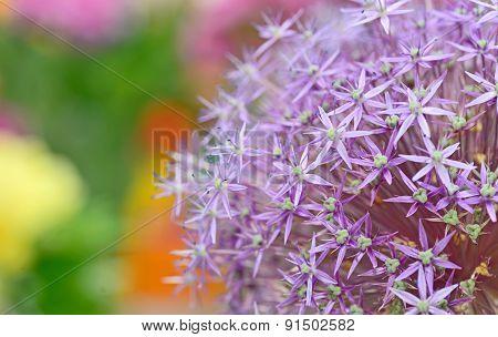 Purple Flowers Of Allium