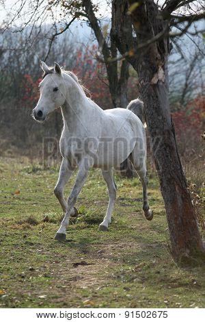 White Arabian Stallion Running
