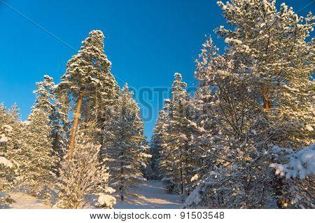 Frozen Woods Under Blue Skies