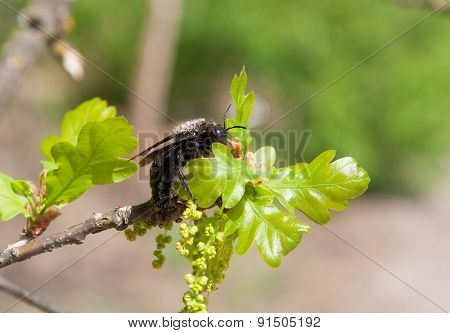 Carpenter Bee on  blossoming branch of oak