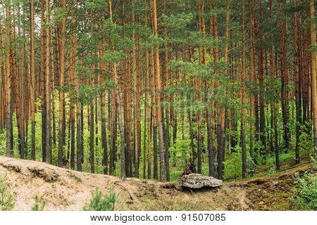 Green Coniferous Forest, Summer Nature