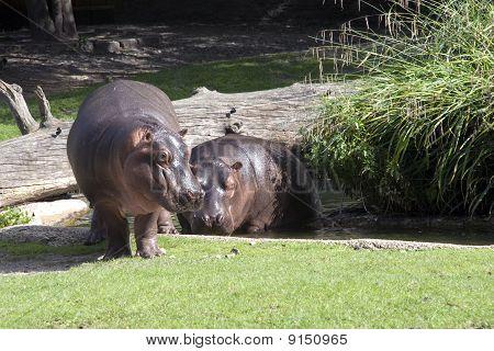 Two Behemoths
