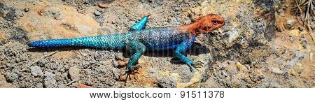 Colorfull Blue Red African Lizard On A Rock