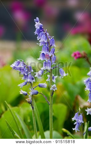 Bluebell Flower In The Garden