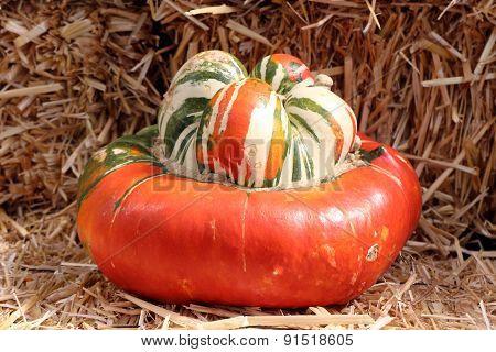Turban Pumpkin Squash