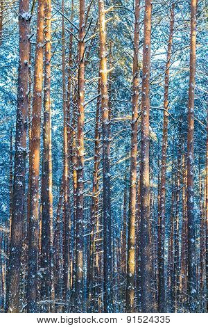 Winter Forest Trees  Nature Snow Woods