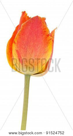 Spring Red-orange Tulip