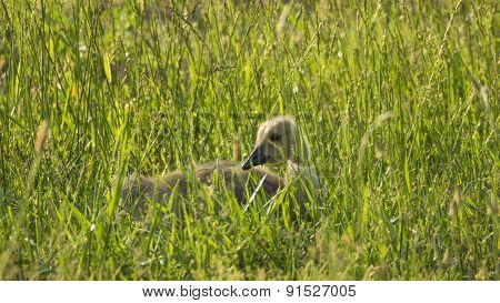 Baby Canada Goose Gosling Hiding in Grass.