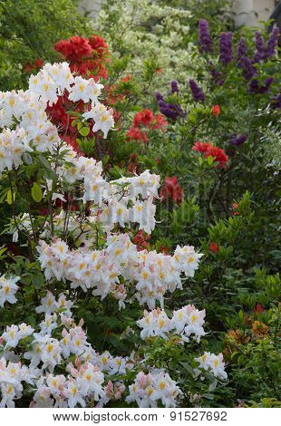 Blooming Rhododendron Shrubs In White And Red