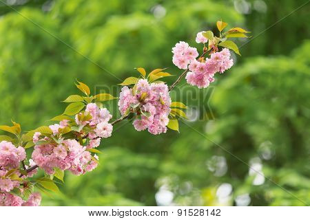 Pink cherry blossoms against a green leaves