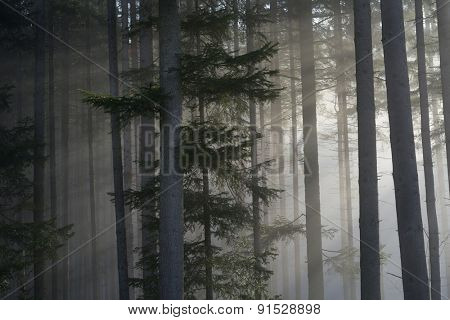 Sun rays in a Fir Forest