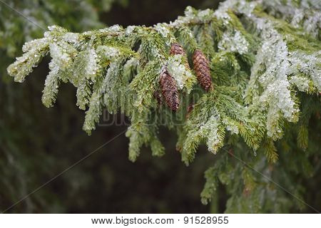 Spruce branches with cones covered with ice. Beauty in nature