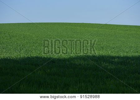 Green field of young wheat under the blue sky and the shadow of the trees
