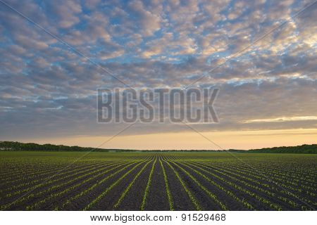Corn field. Morning landscape with a beautiful sky