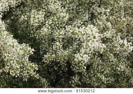 Crab Tree or Dogwood Blossoms in Spring