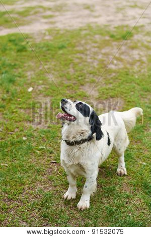 Russian Spaniel Playing With Stick