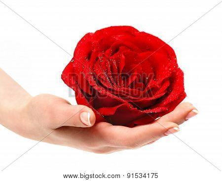 Beautiful Red Rose In A Female Hand.