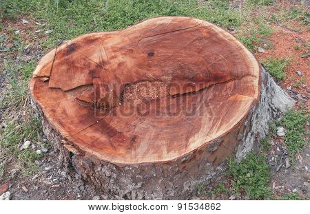 Stump Of An Old And Big Tree