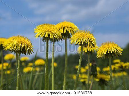 Yellow Dandelion Flowers.