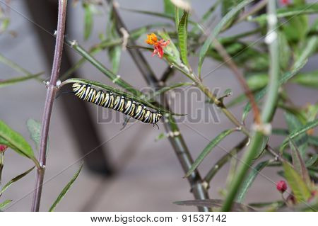 Monarch caterpillar eating milkweed leaves
