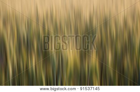 Abstract Blurred Wheat Field