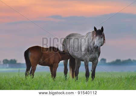Grey horse with foal