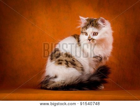 Scottish tortoiseshell and white straight kitten portrait.