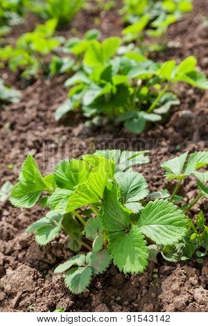 green bush of strawberries in the garden. background outdoors