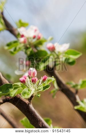 Beautiful spring flowers apple. close-up