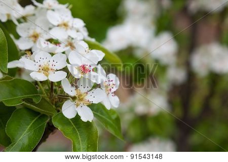 Beautiful spring flowers pear. close-up