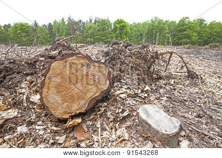 Tree Stumps On Felled Forest.