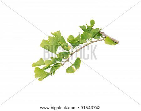 Gingko Biloba branch