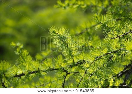 Larch tree branch