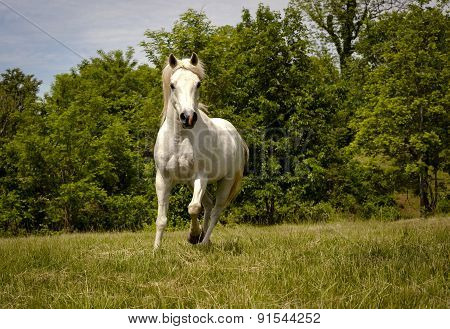 white Arabian horse running in pasture