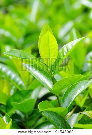 Green tea bud and fresh leaves