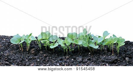 Young Seedlings Of Radishes Closeup Isolated