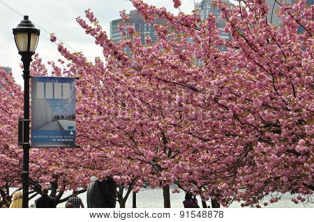 Cherry Blossoms at Roosevelt Island in New York City