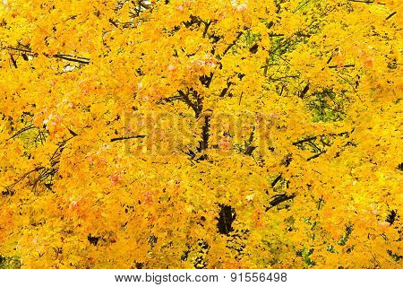 Background From Autumn Foliage Of A Maple