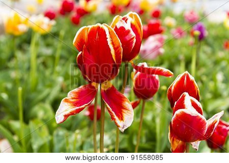 Red Tulips Against Green Plant And Other Colors
