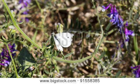 White Moth Sitting On Green Stalk Of Lupine