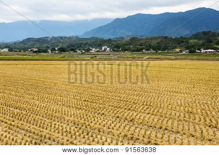 Harvested golden rice field in winter