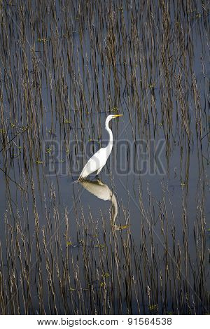 White Egret Standing In Wet Lands Reflection