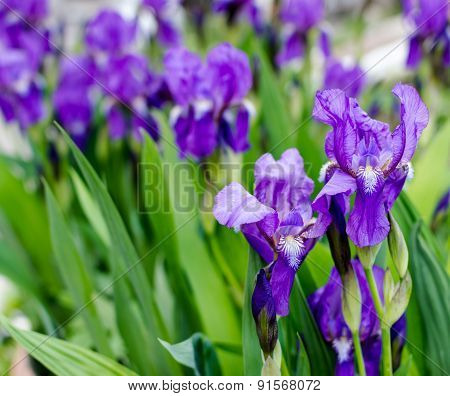 Iris Flowers In Bloom