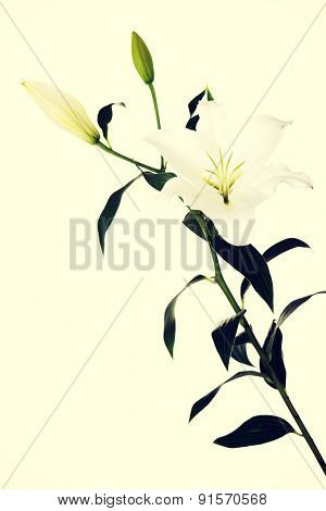Two white lilies and a bud of lily